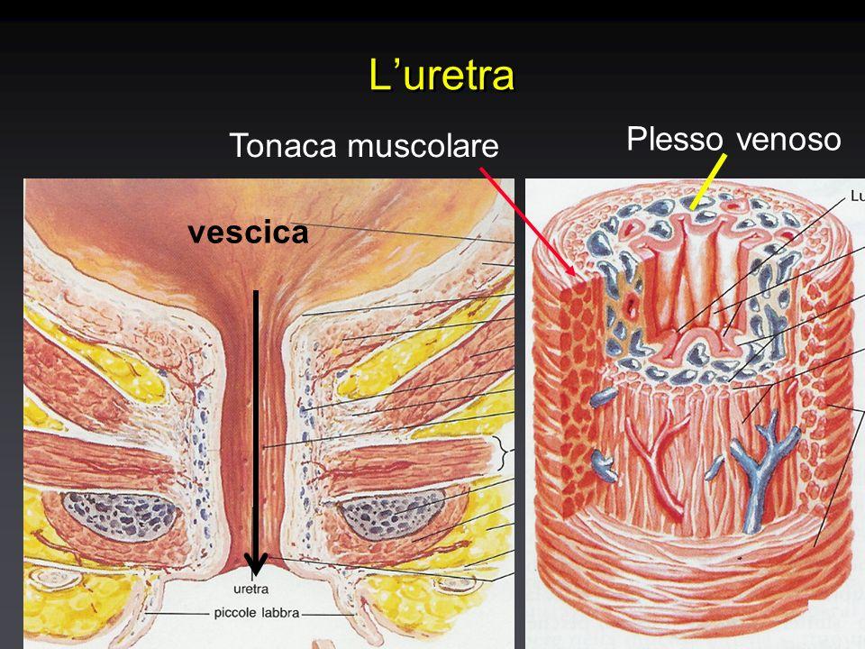 Luretra vescica Plesso venoso Tonaca muscolare