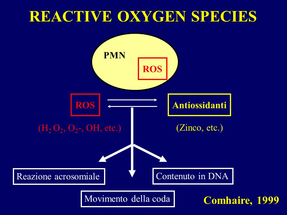 REACTIVE OXYGEN SPECIES Comhaire, 1999 ROS PMN ROSAntiossidanti (H 2 O 2, O 2 -, OH, etc.) (Zinco, etc.) Reazione acrosomiale Contenuto in DNA Movimen