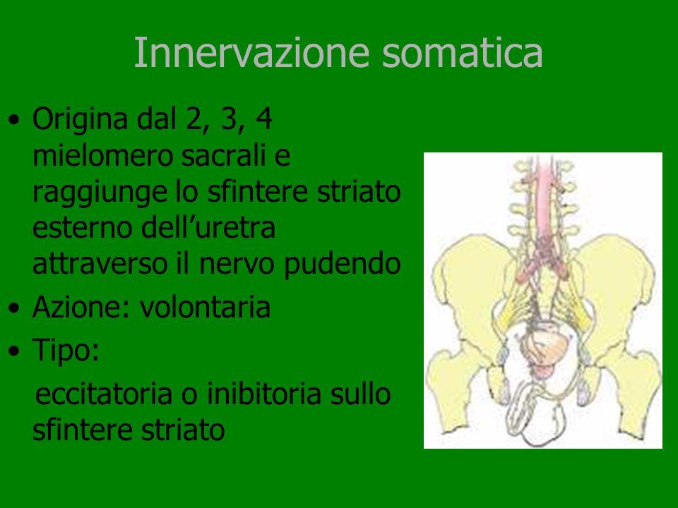 Innervazione somatica Origina dal 2, 3, 4 mielomero sacrali e raggiunge lo sfintere striato esterno delluretra attraverso il nervo pudendo Azione: vol