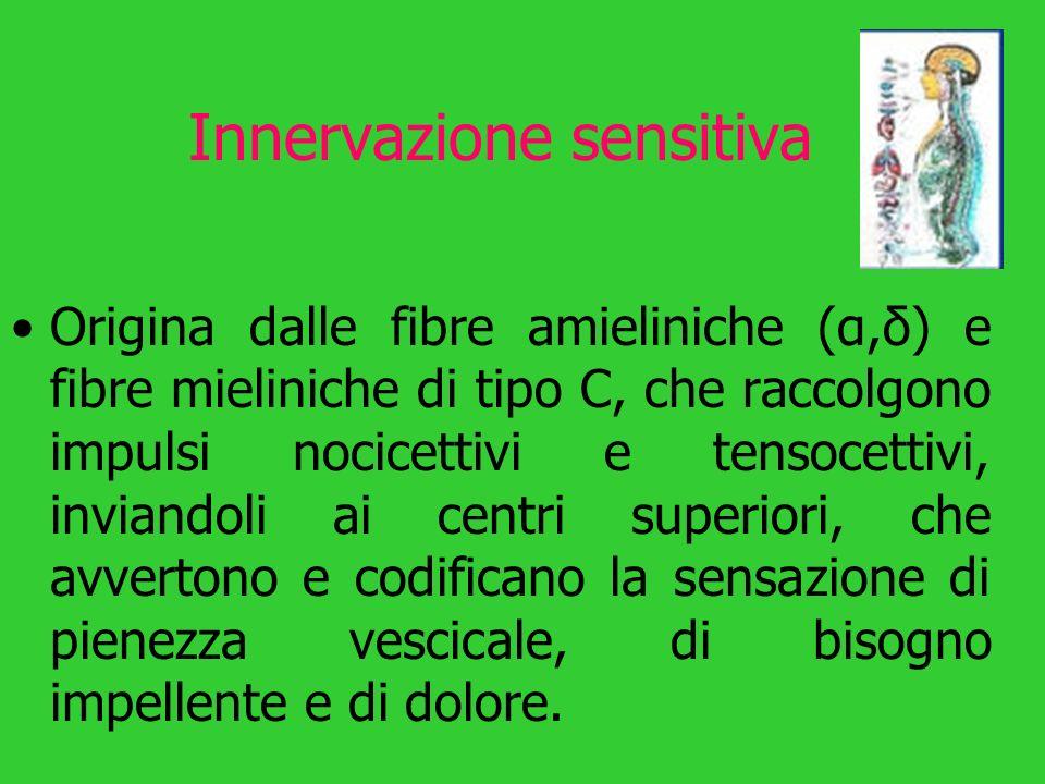 Innervazione sensitiva Origina dalle fibre amieliniche (α,δ) e fibre mieliniche di tipo C, che raccolgono impulsi nocicettivi e tensocettivi, inviando