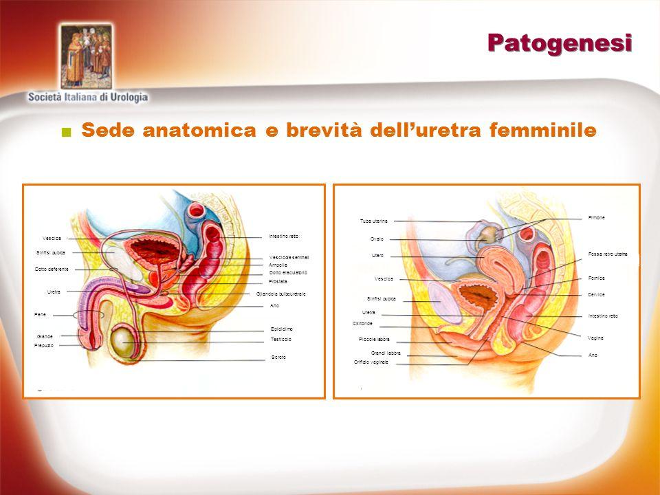Patogenesi Via dinfezione ascendente Sede e brevità delluretra femminile Aderenza batterica (fimbriae P per recettori specifici-mannoso resistente MR, pili tipo 1 per uromucoide di Tamm-Horsfall-mannoso sensibile MS)