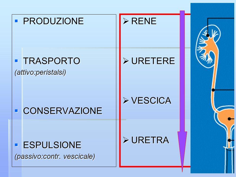 PRODUZIONE PRODUZIONE TRASPORTO TRASPORTO(attivo:peristalsi) CONSERVAZIONE CONSERVAZIONE ESPULSIONE ESPULSIONE (passivo:contr. vescicale) RENE RENE UR