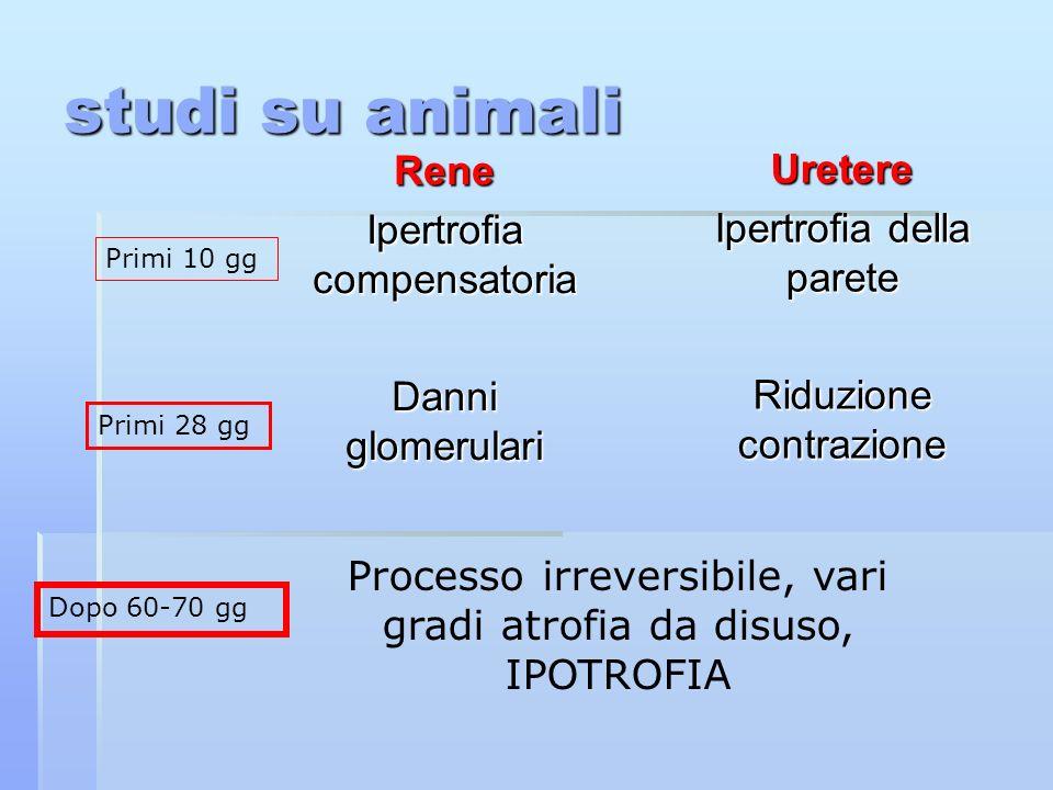 studi su animali Rene Ipertrofia compensatoria Danni glomerulari Uretere Ipertrofia della parete Riduzione contrazione Primi 10 gg Primi 28 gg Dopo 60-70 gg Processo irreversibile, vari gradi atrofia da disuso, IPOTROFIA