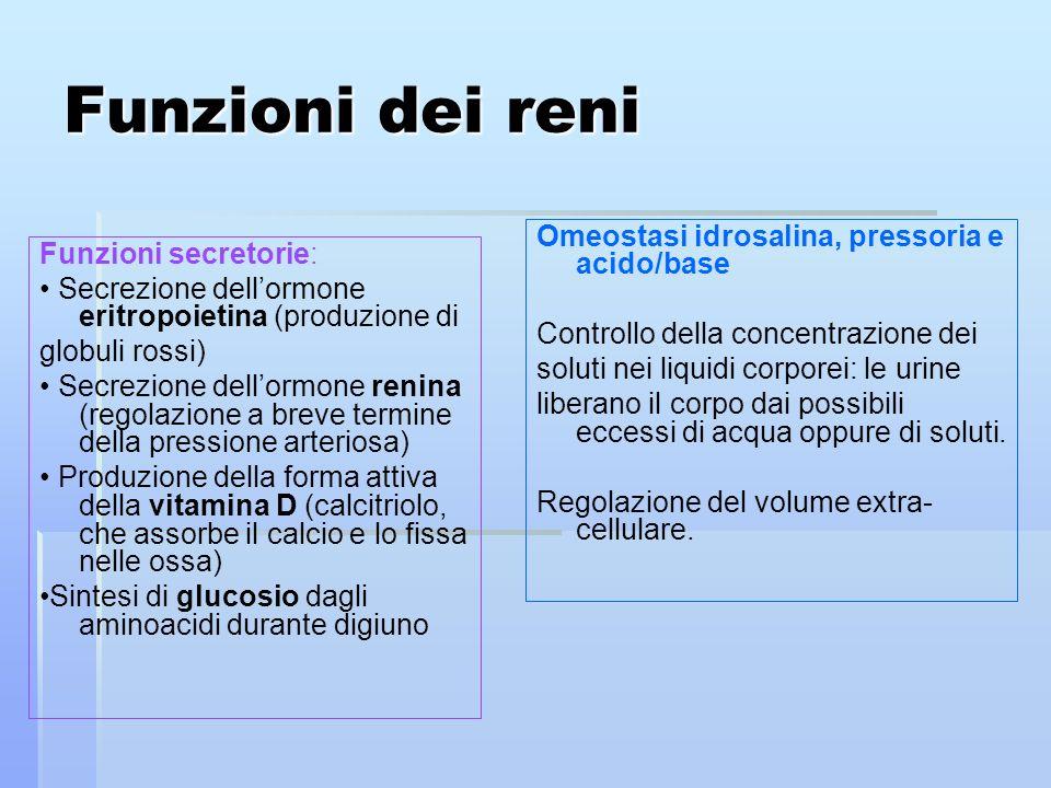 Funzioni dei reni Funzioni secretorie: Secrezione dellormone eritropoietina (produzione di globuli rossi) Secrezione dellormone renina (regolazione a