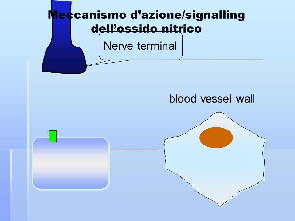 Nerve terminal blood vessel wall Meccanismo dazione/signalling dellossido nitrico