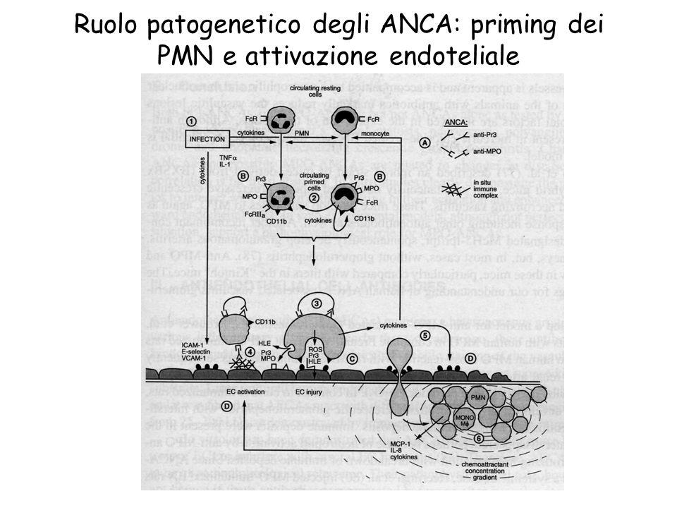 Ruolo patogenetico degli ANCA: priming dei PMN e attivazione endoteliale
