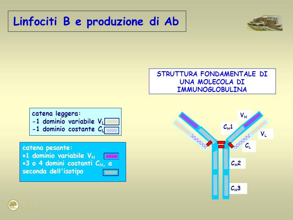 Linfociti B e produzione di Ab STRUTTURA FONDAMENTALE DI UNA MOLECOLA DI IMMUNOGLOBULINA CH3CH3 CH2CH2 CLCL CH1CH1 VHVH VLVL catena leggera: -1 domini