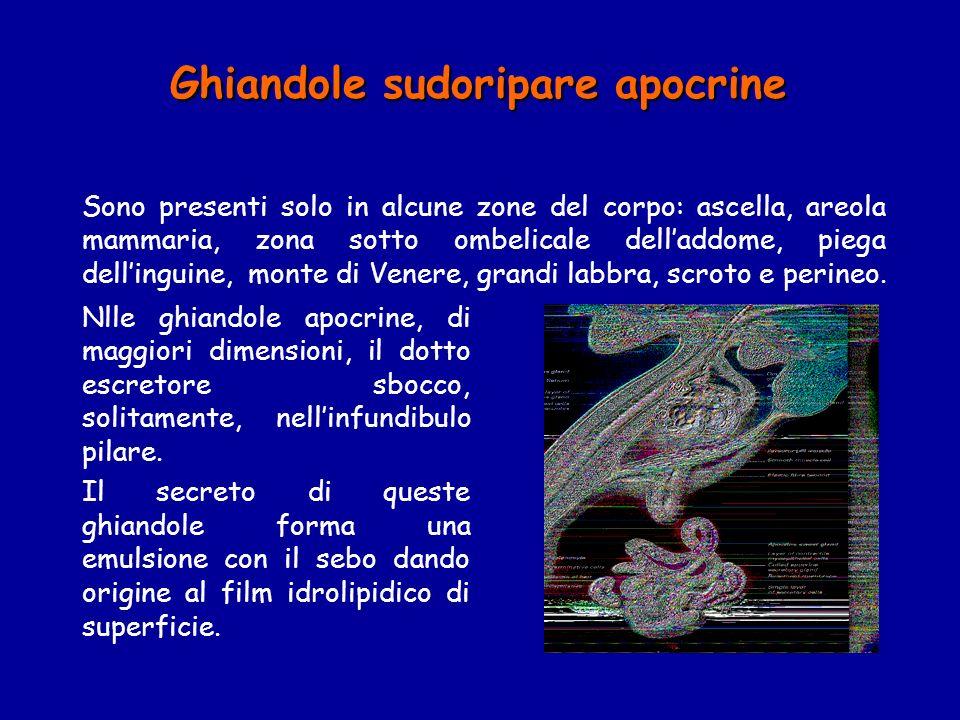 Ghiandole sudoripare apocrine Sono presenti solo in alcune zone del corpo: ascella, areola mammaria, zona sotto ombelicale delladdome, piega dellingui