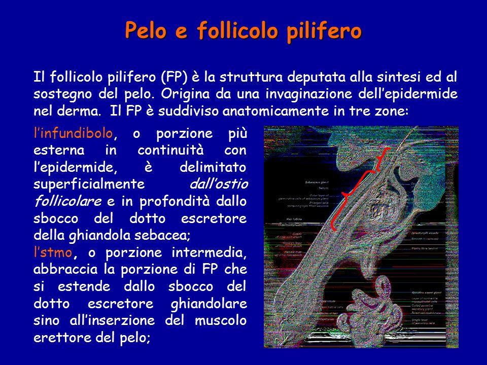 Pelo e follicolo pilifero linfundibolo, o porzione più esterna in continuità con lepidermide, è delimitato superficialmente dallostio follicolare e in