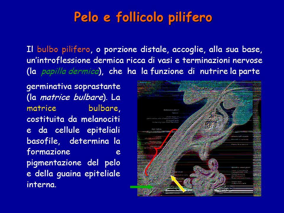 Il bulbo pilifero, o porzione distale, accoglie, alla sua base, unintroflessione dermica ricca di vasi e terminazioni nervose (la papilla dermica), ch