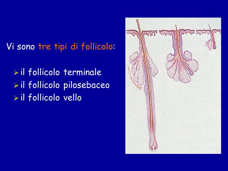 Vi sono tre tipi di follicolo: il follicolo terminale il follicolo pilosebaceo il follicolo vello