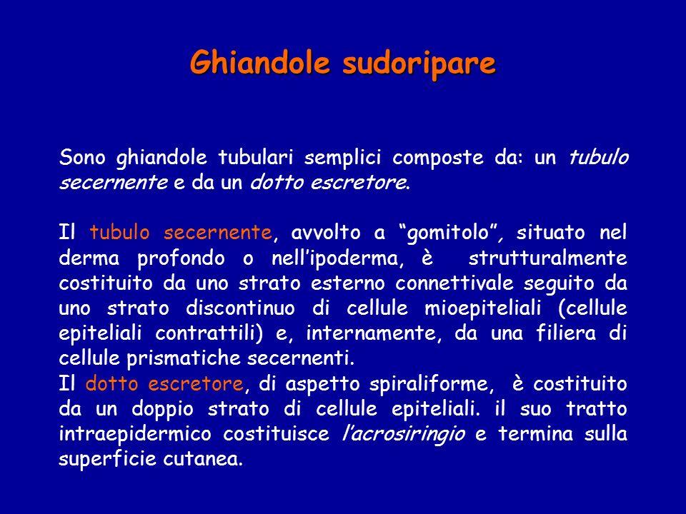 Ghiandole sudoripare Sono ghiandole tubulari semplici composte da: un tubulo secernente e da un dotto escretore. Il tubulo secernente, avvolto a gomit