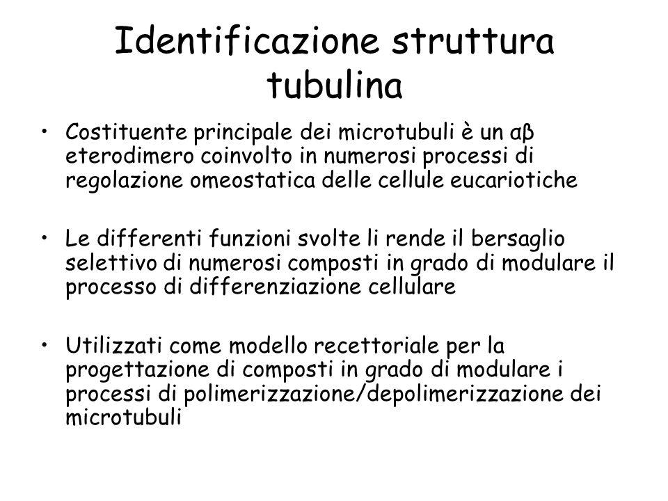 Identificazione struttura tubulina Costituente principale dei microtubuli è un αβ eterodimero coinvolto in numerosi processi di regolazione omeostatic