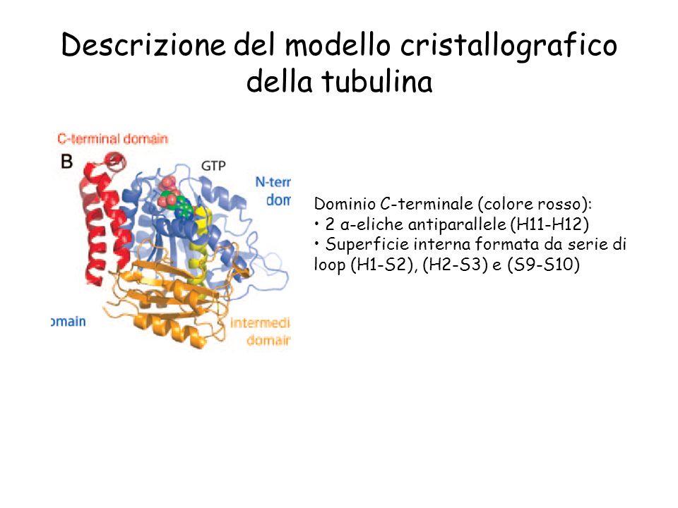 Descrizione del modello cristallografico della tubulina Dominio C-terminale (colore rosso): 2 α-eliche antiparallele (H11-H12) Superficie interna form