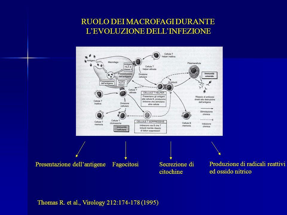 RUOLO DEI MACROFAGI DURANTE LEVOLUZIONE DELLINFEZIONE Presentazione dellantigeneFagocitosiSecrezione di citochine Produzione di radicali reattivi ed o