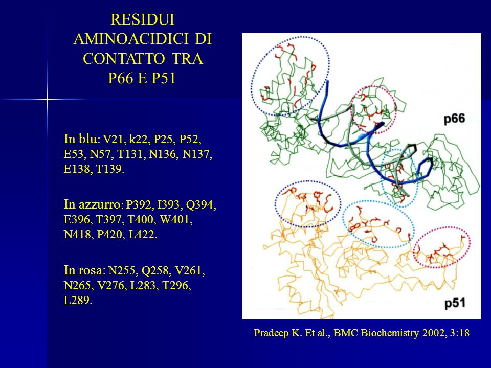 RESIDUI AMINOACIDICI DI CONTATTO TRA P66 E P51 In blu : V21, k22, P25, P52, E53, N57, T131, N136, N137, E138, T139. In azzurro : P392, I393, Q394, E39