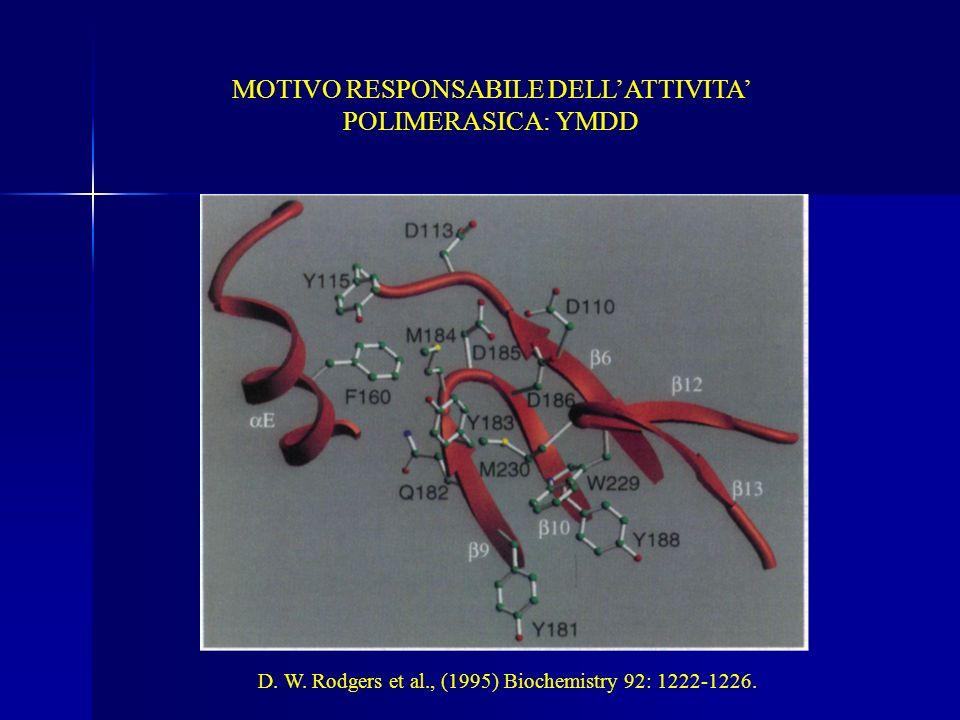 MOTIVO RESPONSABILE DELLATTIVITA POLIMERASICA: YMDD D. W. Rodgers et al., (1995) Biochemistry 92: 1222-1226.