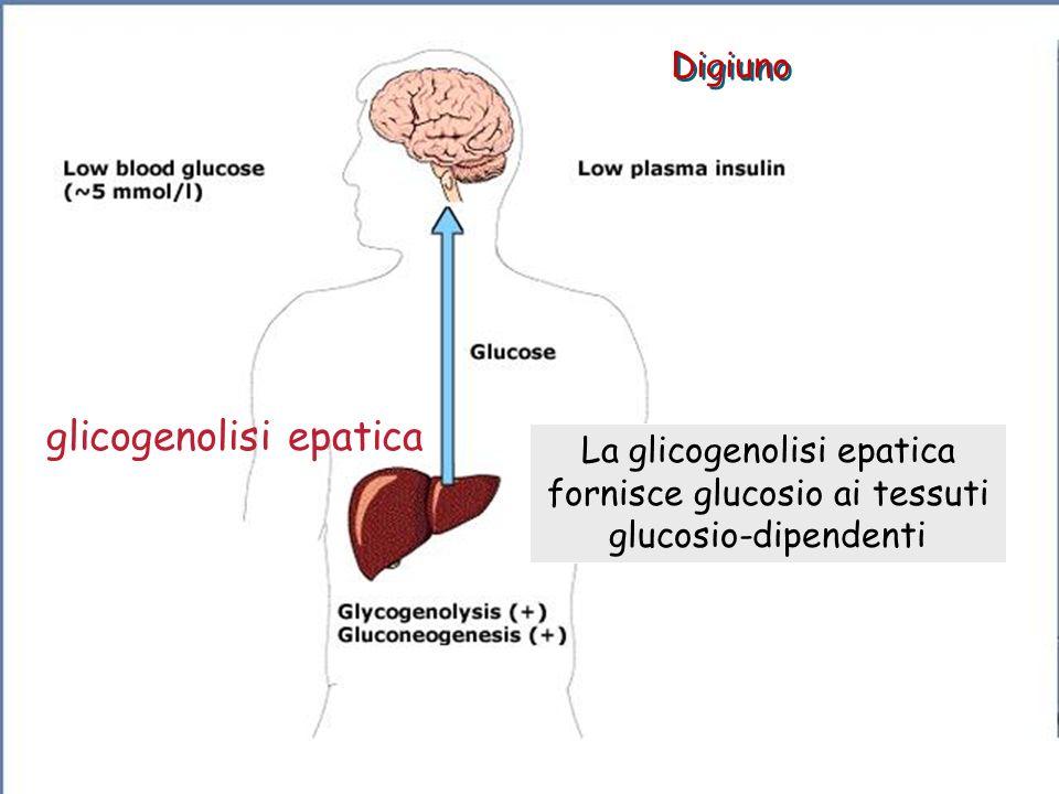Digiuno La glicogenolisi epatica fornisce glucosio ai tessuti glucosio-dipendenti glicogenolisi epatica (0-72 h)