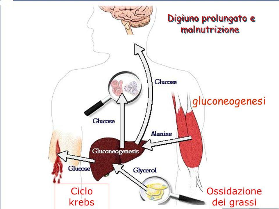 gluconeogenesi Digiuno prolungato e malnutrizione Digiuno prolungato e malnutrizione Ciclo krebs Ossidazione dei grassi