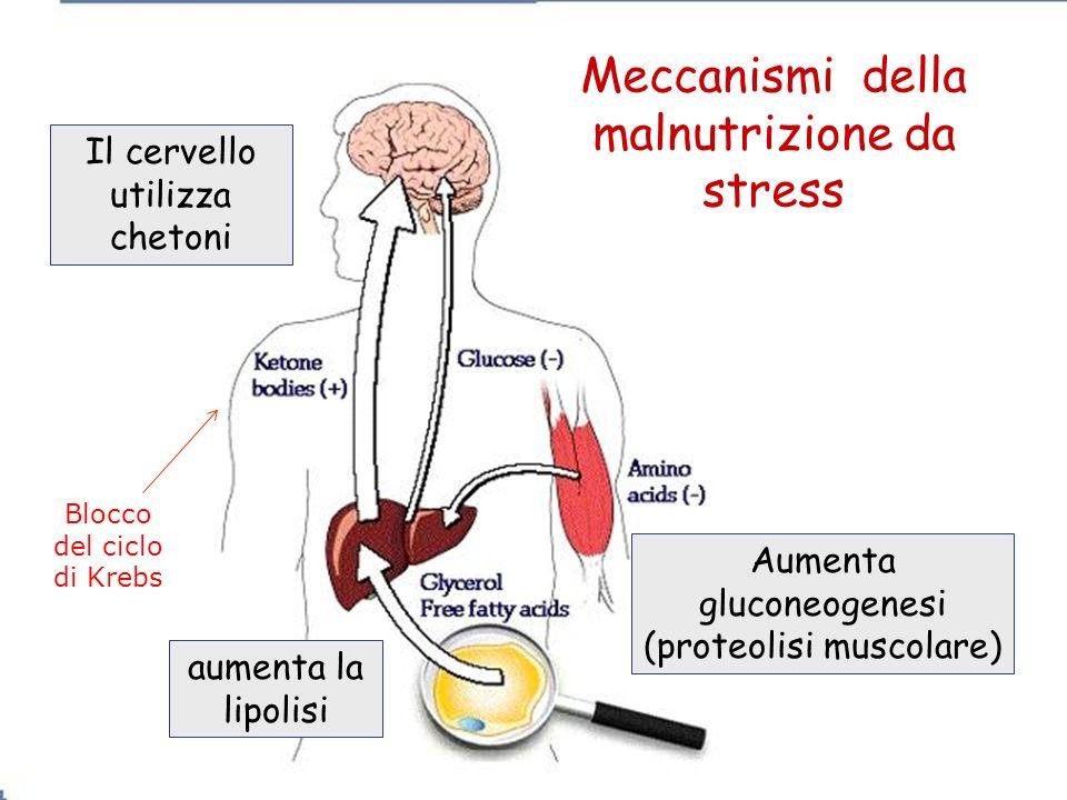 Il cervello utilizza chetoni aumenta la lipolisi Aumenta gluconeogenesi (proteolisi muscolare) Meccanismi della malnutrizione da stress Blocco del cic