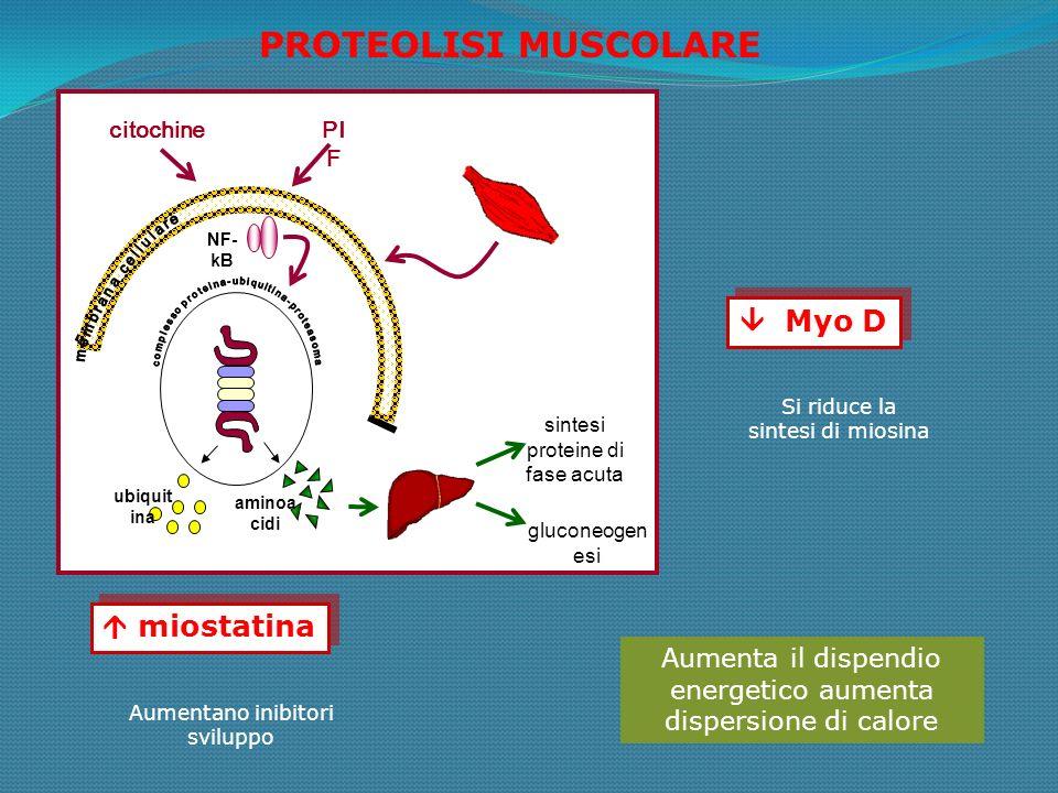 sintesi proteine di fase acuta gluconeogen esi aminoa cidi ubiquit ina NF- kB citochinePI F PROTEOLISI MUSCOLARE miostatina Myo D Aumentano inibitori