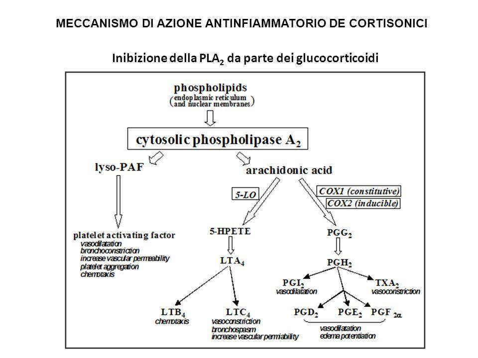Inibizione della PLA 2 da parte dei glucocorticoidi MECCANISMO DI AZIONE ANTINFIAMMATORIO DE CORTISONICI