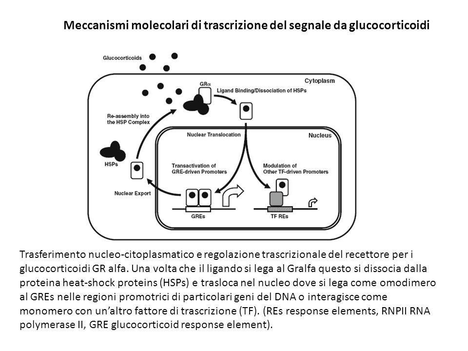 Trasferimento nucleo-citoplasmatico e regolazione trascrizionale del recettore per i glucocorticoidi GR alfa. Una volta che il ligando si lega al Gral