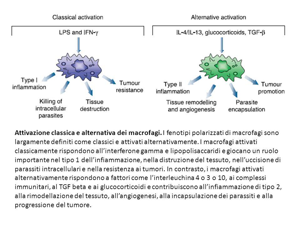 Attivazione classica e alternativa dei macrofagi. I fenotipi polarizzati di macrofagi sono largamente definiti come classici e attivati alternativamen