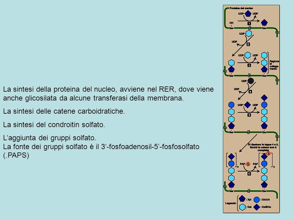 La sintesi della proteina del nucleo, avviene nel RER, dove viene anche glicosilata da alcune transferasi della membrana. La sintesi delle catene carb