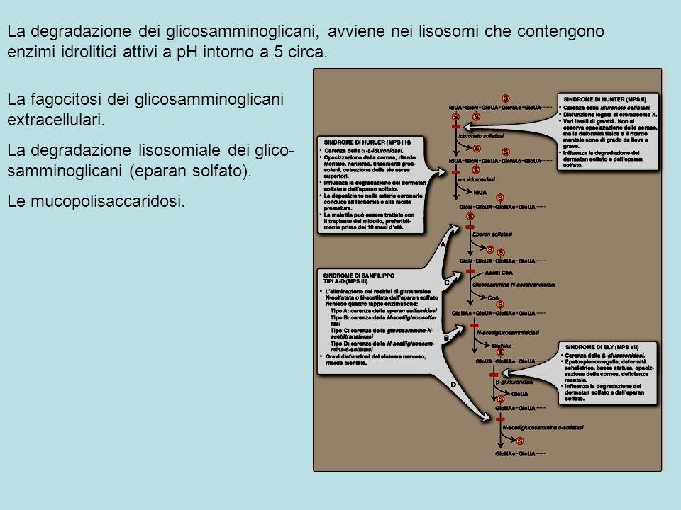 La degradazione dei glicosamminoglicani, avviene nei lisosomi che contengono enzimi idrolitici attivi a pH intorno a 5 circa. La fagocitosi dei glicos