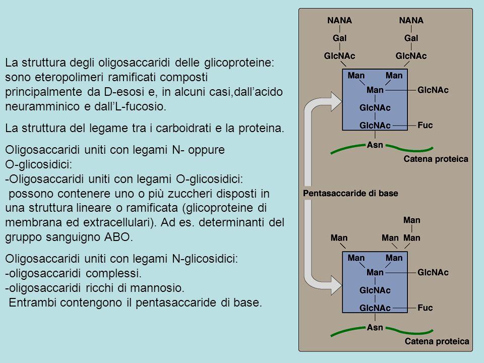 La struttura degli oligosaccaridi delle glicoproteine: sono eteropolimeri ramificati composti principalmente da D-esosi e, in alcuni casi,dallacido ne