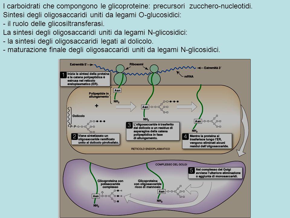 I carboidrati che compongono le glicoproteine: precursori zucchero-nucleotidi. Sintesi degli oligosaccaridi uniti da legami O-glucosidici: - il ruolo