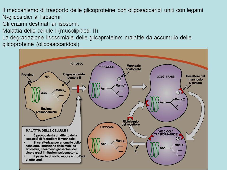 Il meccanismo di trasporto delle glicoproteine con oligosaccaridi uniti con legami N-glicosidici ai lisosomi. Gli enzimi destinati ai lisosomi. Malatt