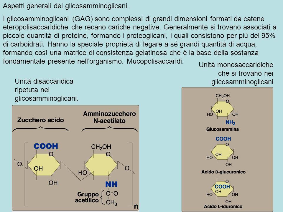 Unità disaccaridica ripetuta nei glicosamminoglicani. Unità monosaccaridiche che si trovano nei glicosamminoglicani Aspetti generali dei glicosamminog
