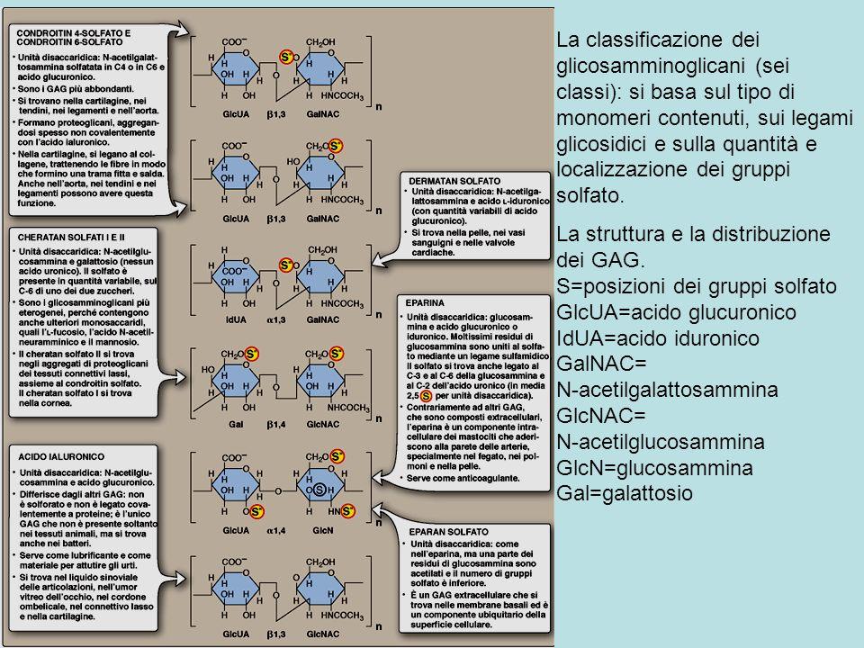 La classificazione dei glicosamminoglicani (sei classi): si basa sul tipo di monomeri contenuti, sui legami glicosidici e sulla quantità e localizzazi