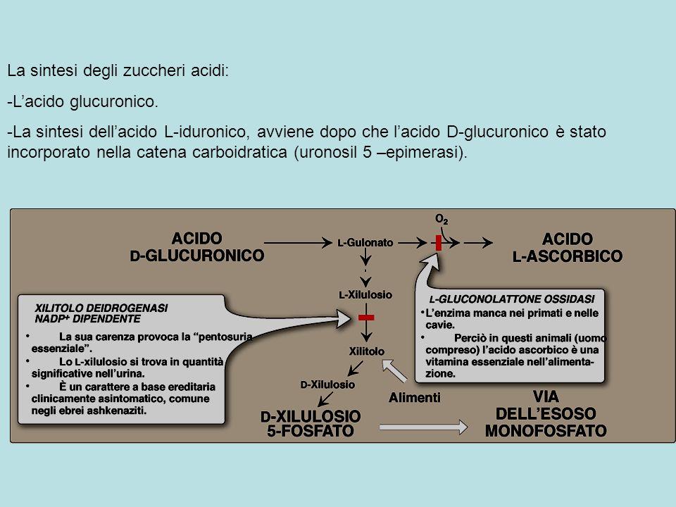 Lossidazione dellUDP-glucosio in UDP-acido glucuronico, la forma attiva dellacido glucuronico,che dona lo zucchero nella sintesi dei glicosamminoglicani e in altre reazioni.