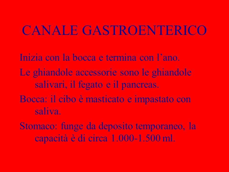 CANALE GASTROENTERICO Inizia con la bocca e termina con lano. Le ghiandole accessorie sono le ghiandole salivari, il fegato e il pancreas. Bocca: il c