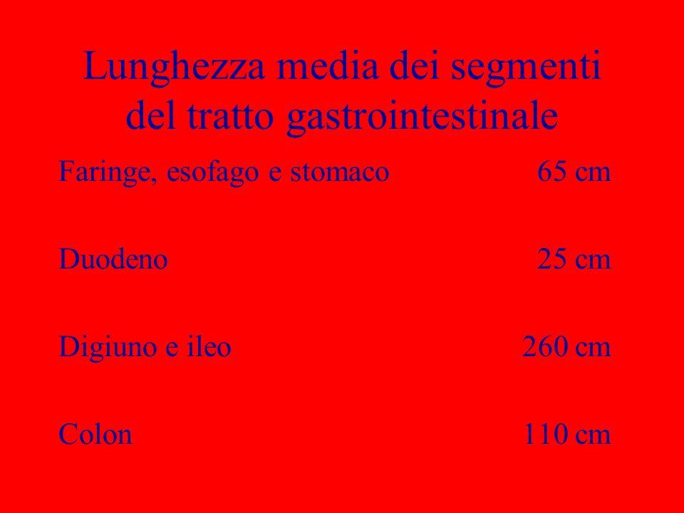 Lunghezza media dei segmenti del tratto gastrointestinale Faringe, esofago e stomaco65 cm Duodeno25 cm Digiuno e ileo 260 cm Colon 110 cm