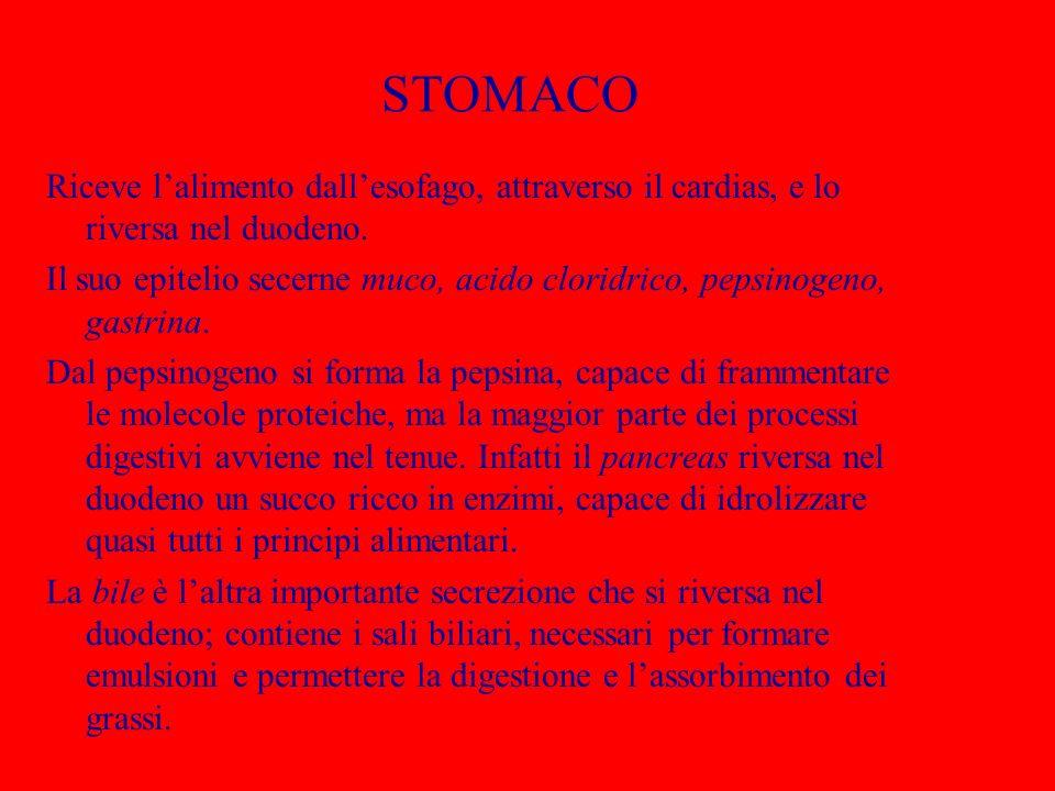 STOMACO Riceve lalimento dallesofago, attraverso il cardias, e lo riversa nel duodeno. Il suo epitelio secerne muco, acido cloridrico, pepsinogeno, ga