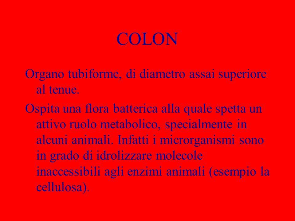 COLON Organo tubiforme, di diametro assai superiore al tenue. Ospita una flora batterica alla quale spetta un attivo ruolo metabolico, specialmente in