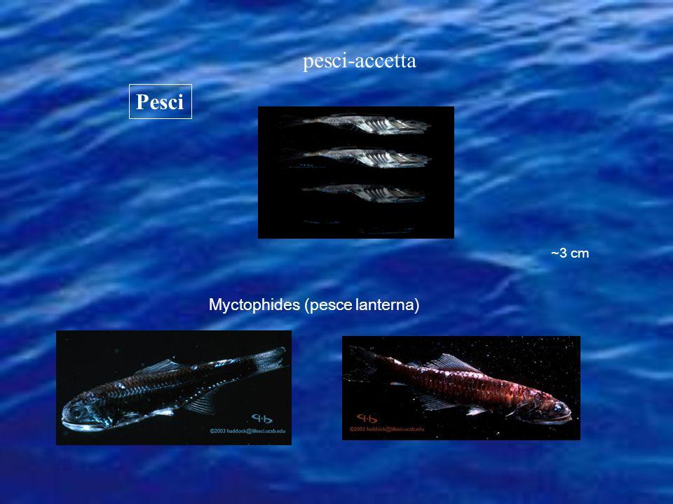Pesci Myctophides (pesce lanterna) ~3 cm pesci-accetta