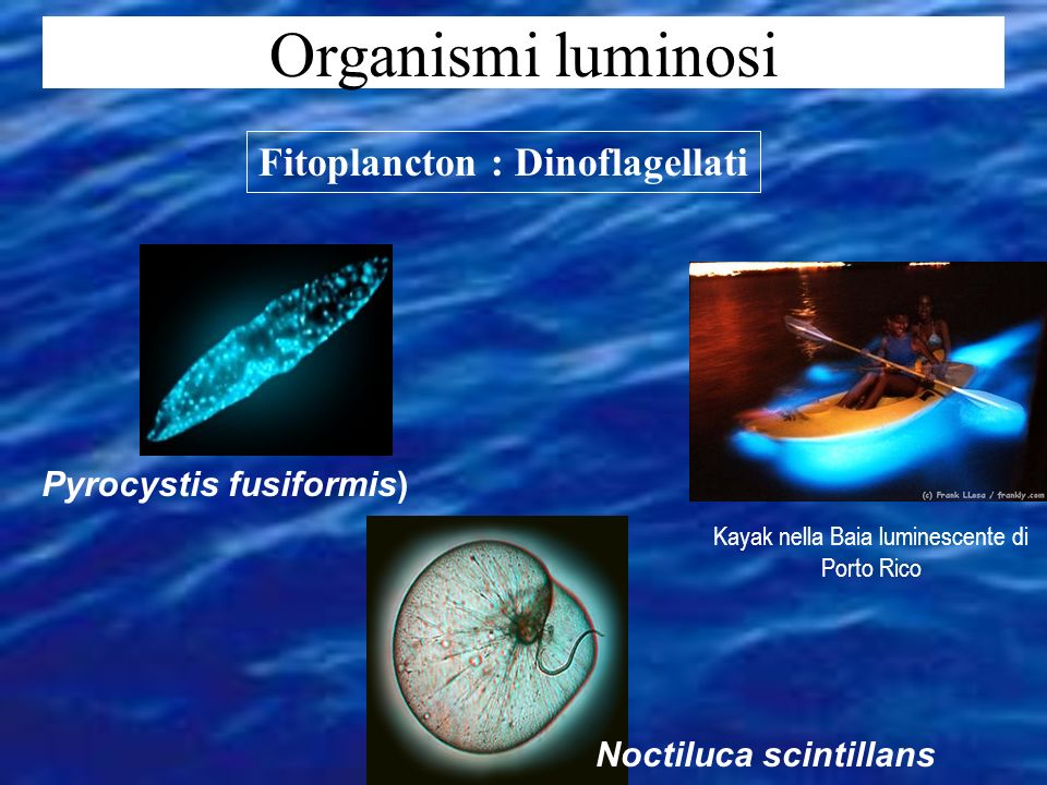 Pyrocystis fusiformis) Fitoplancton : Dinoflagellati Noctiluca scintillans Kayak nella Baia luminescente di Porto Rico Organismi luminosi