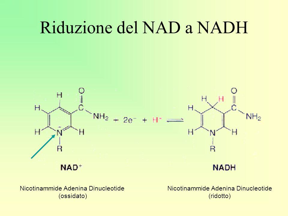 Riduzione del NAD a NADH Nicotinammide Adenina Dinucleotide (ossidato) Nicotinammide Adenina Dinucleotide (ridotto)