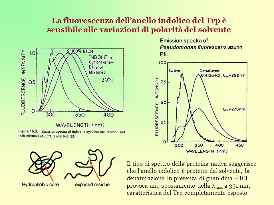 La fluorescenza dellanello indolico del Trp è sensibile alle variazioni di polarità del solvente Il tipo di spettro della proteina nativa suggerisce che lanello indolico è protetto dal solvente, la denaturazione in presenza di guanidina -HCl provoca uno spostamento della max a 351 nm, caratteristica del Trp completamente esposto
