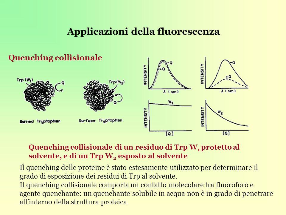 Applicazioni della fluorescenza Quenching collisionale Quenching collisionale di un residuo di Trp W 1 protetto al solvente, e di un Trp W 2 esposto al solvente Il quenching delle proteine è stato estesamente utilizzato per determinare il grado di esposizione dei residui di Trp al solvente.