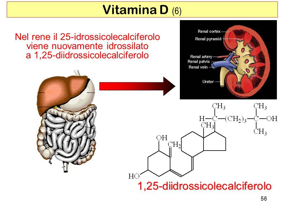 Nel rene il 25-idrossicolecalciferolo viene nuovamente idrossilato a 1,25-diidrossicolecalciferolo 1,25-diidrossicolecalciferolo 56 Vitamina D (6)
