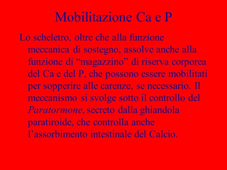 Mobilitazione Ca e P Lo scheletro, oltre che alla funzione meccanica di sostegno, assolve anche alla funzione di magazzino di riserva corporea del Ca