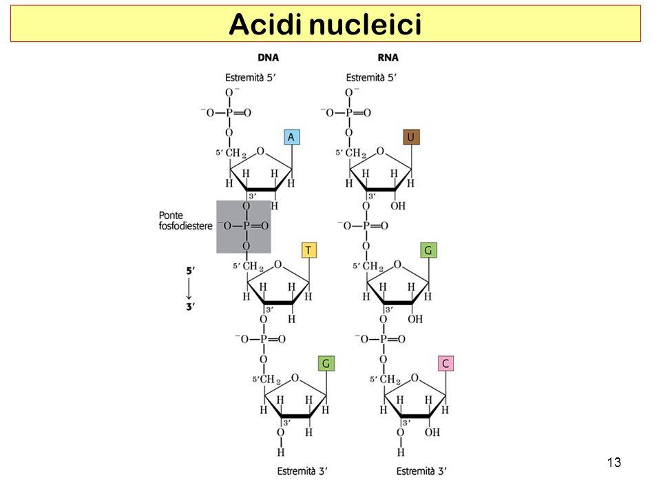 13 Acidi nucleici