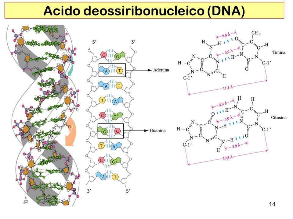 14 Acido deossiribonucleico (DNA)