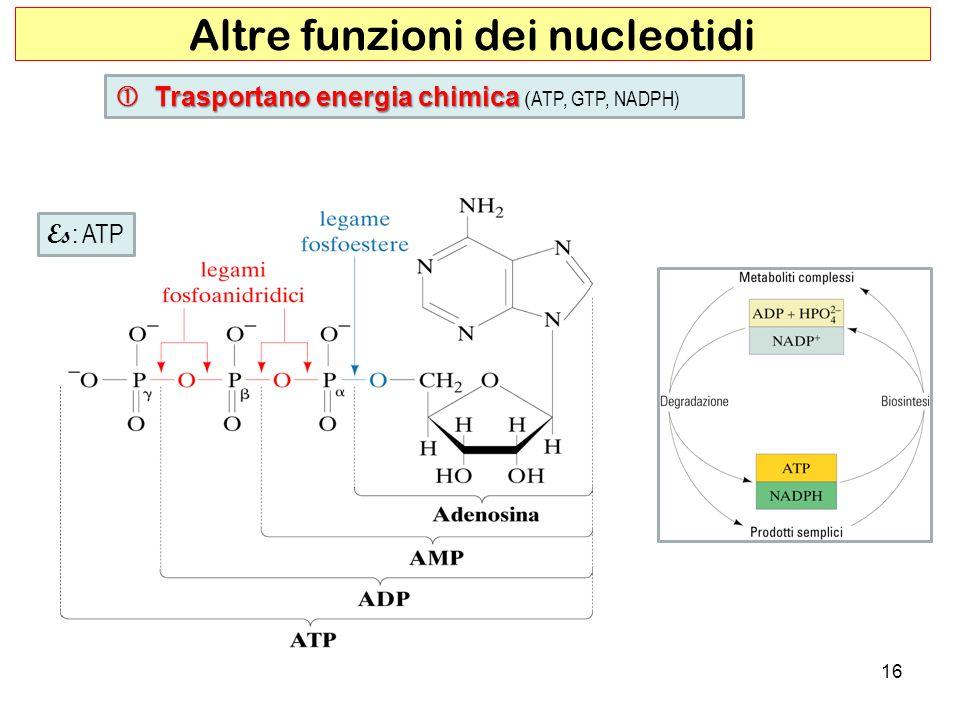 16 Altre funzioni dei nucleotidi Trasportano energia chimica Trasportano energia chimica ( ATP, GTP, NADPH) Es : ATP